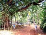 Все Деревья Бодхи в индуизме окружены почитанием, так как считаются воплощением Бога Вишну