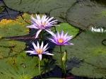 Йога-тур в Гималаи. В Китае Лотос это — цветок июля-8