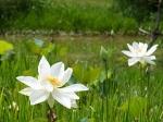 Йога-тур в Гималаи. В Китае Лотос это — цветок июля-7