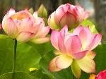 Йога-тур в Гималаи. В Китае Лотос это — цветок июля-18