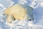 Хатха-Йога для начинающих. Белый Медведь-40