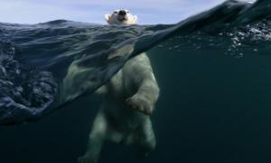 Интересно о Белых Медведях