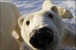 Интересное о белых медведях