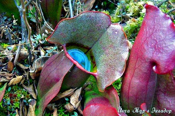 Тур в Эквадор. Растения Эквадора-3