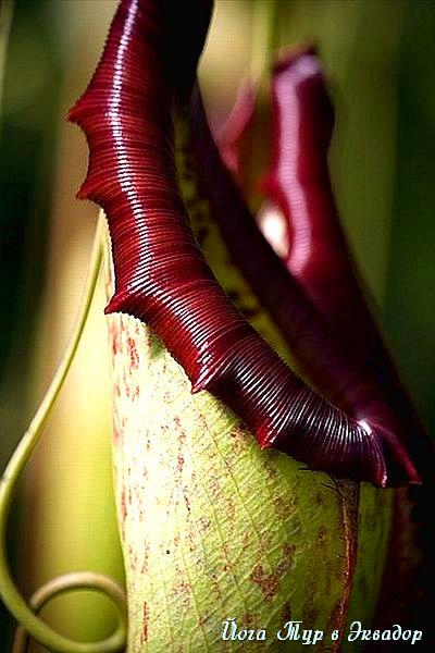 Тур в Эквадор. Растения Эквадора-7