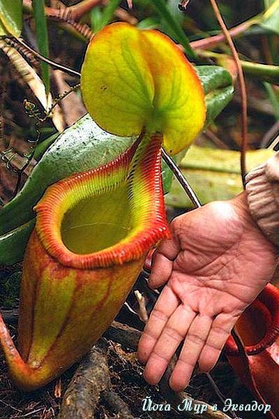 Тур в Эквадор. Растения Эквадора-9